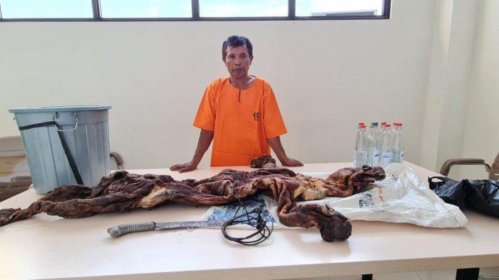 BTS (58) pelaku pemburu dan penjual kulit harimau sumatera di Kuansing ditangkap tim gabungan.