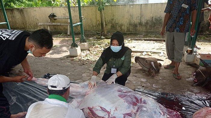 Tak Peduli Pandemi,Semangat Berkurban Tinggi, di Siak 3.121 Ternak Dikurbankan,Diprediksi Bertambah