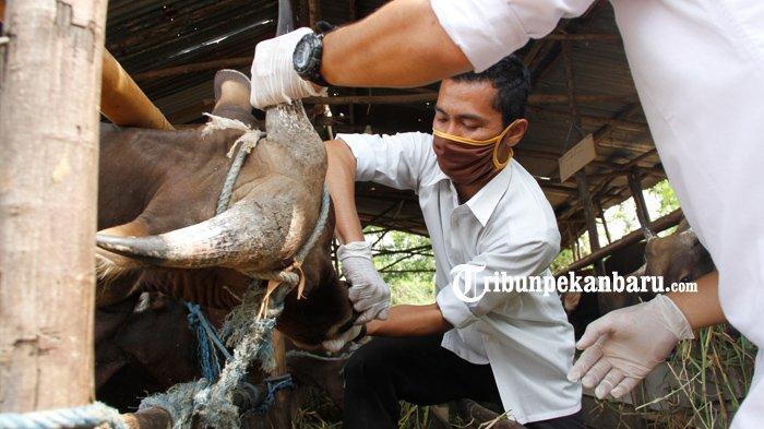 FOTO : Pemeriksaan Penjualan Hewan Kurban Di Pekanbaru - pemeriksaan-kesehatan-hewan-kurban-di-pekanbaru-2.jpg