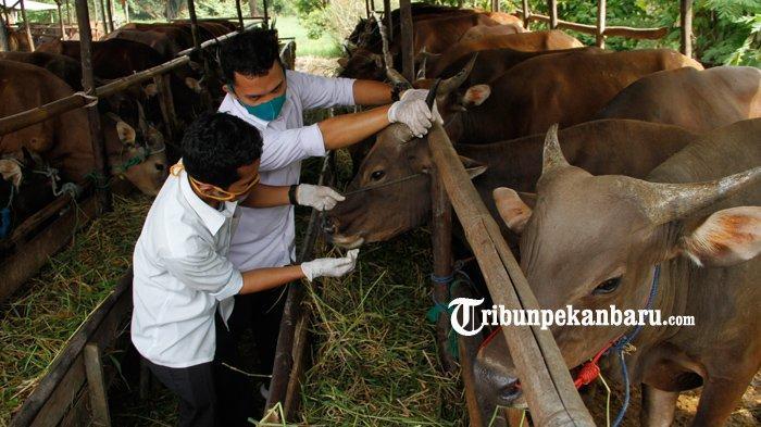 FOTO : Pemeriksaan Penjualan Hewan Kurban Di Pekanbaru - pemeriksaan-kesehatan-hewan-kurban-di-pekanbaru.jpg