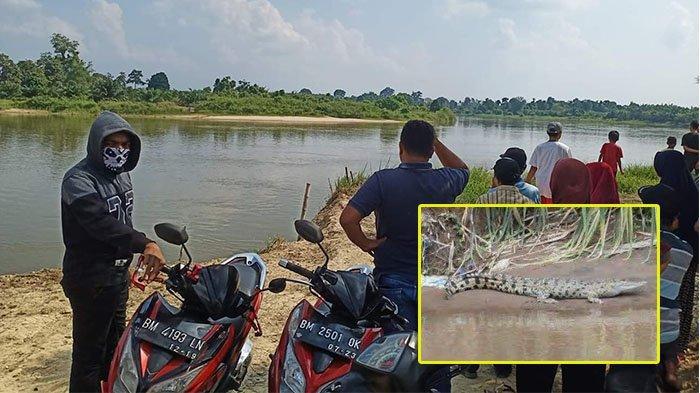Geger Penampakan Buaya Berjemur di Sungai Kampar Riau, Warga Tak Berani Lagi Beraktifitas di Sungai