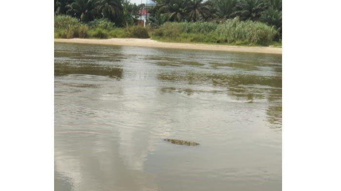 Geger Kemunculan Diduga Buaya di Sungai Kampar,BBKSDA Riau Sebut Bukan Habitatnya, Ingatkan Hal Ini