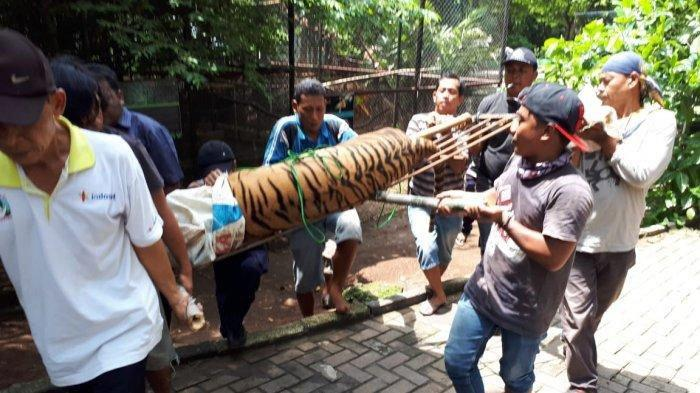 Kronologi dan Detik-Detik Penangkapan Harimau Bonbin Mangkang