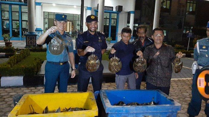 Akan Dikirim ke Malaysia, BC Dumai Gagalkan Penyelundupan Hampir 3.000 Ekor Belangkas