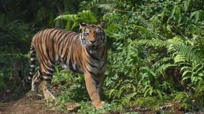 Heboh Informasi di Riau Tiga Ekor Harimau Sumatera Berkeliaran di Kandis Siak, Ini Hasil Pengecekan