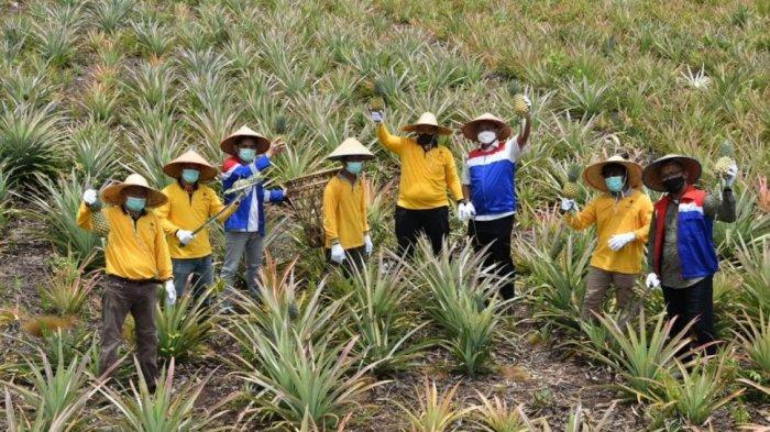 Pertanian Nanas Lahan Gambut Binaan Pertamina, Tingkatkan Ekonomi Masyarakat