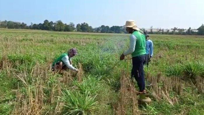 Petani Jagung di Kecamatan Seputih Raman Gropyokan Kejar Hama Tikus