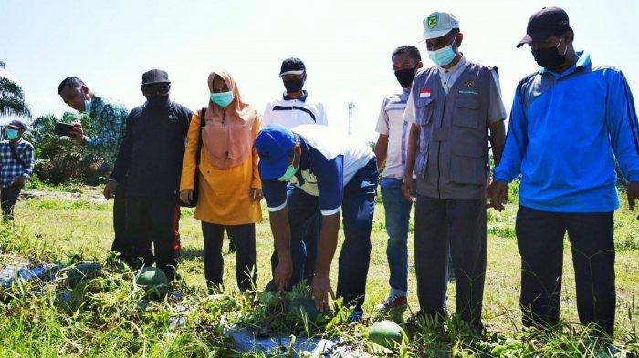 Petani di Siak Ini Panen Semangka Bersama Bupati Alfedri