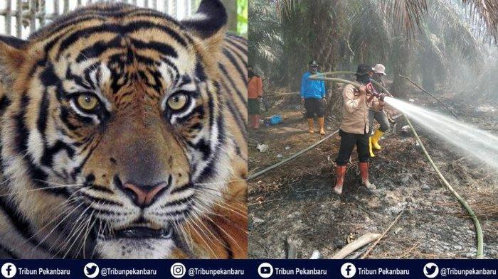 Petugas Pemadam Karhutla di Riau Bertemu HARIMAU Sumatera, Polisi Imbau Warga Tidak Masuk Hutan