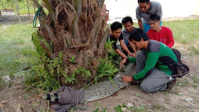 Sudah Lima Ekor Buaya Muncul di Desa Pulau Gelang Riau, BBKSDA Pasang Imbauan Waspada Buaya