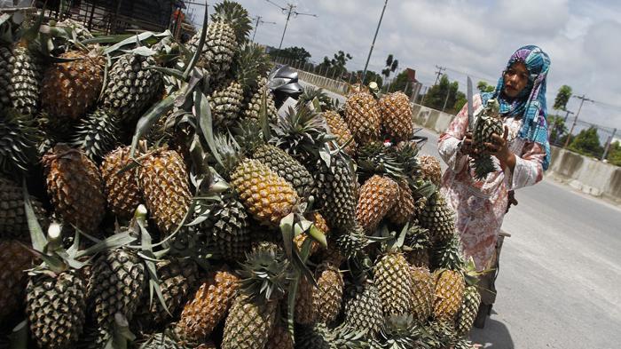 Cocok di Lahan Gambut dan Tak Susah Merawatnya, Budidaya Nenas Unggul di Desa Pagaruyung Kampar Riau