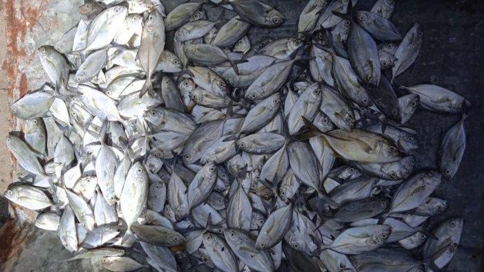 Ratusan ekor ikan jenis Bubara mati di kerambah nelayan, Desa Hative Kecil Kota Ambon, Maluku