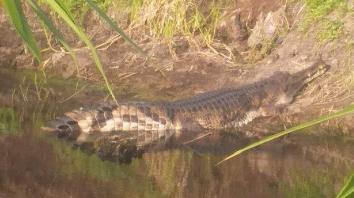 Lagi Cari Ikan, Kakek 75 Tahun Diserang Buaya Panjang 5 Meter di Agam Sumbar