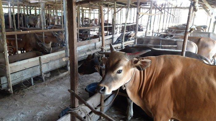 Hewan Kurban Terbanyak di Dumai Ada di Kelurahan Jaya Mukti