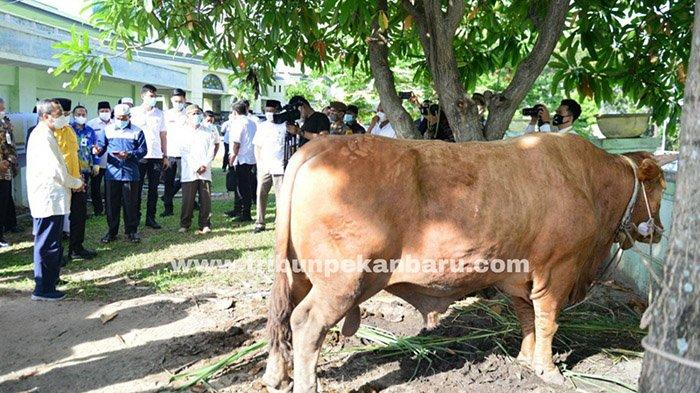 FOTO : Besarnya Sapi Kurban Presiden Jokowi di Riau - sapi-jokowi-di-riau.jpg