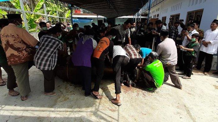 Cerita Unik Sapi Kurban Presiden Jokowi, Sepak Kaki Warga Hingga Harus Diberi Obat Nyamuk Tiap Malam
