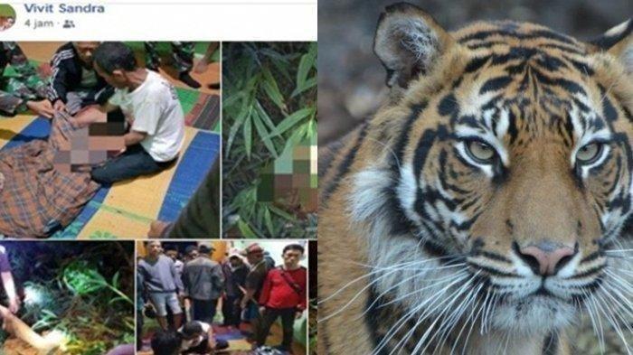 Ajaib! Ajak Ngobrol Harimau yang Akan Menerkamnya, Katemin Selamat Tanpa Luka Gores Sedikitpun