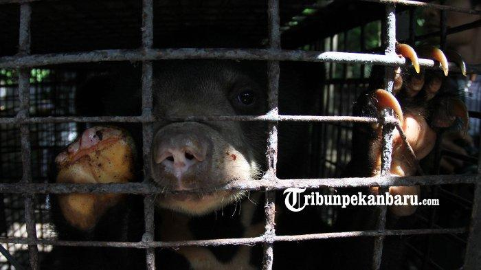 Anak Beruang Ini Kehilangan Seluruh Jari Kaki Depan Kanannya, Diduga Terkena Jerat Babi Milik Warga