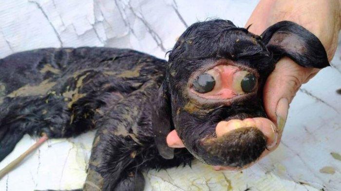 Seekor anak kambing di Kabupaten Cianjur, Jawa Barat, lahir dalam kondisi wajah menyeramkan, diduga akibat kelainan genetika.