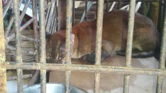 Seekor Kucing Emas Langka Terjerat Perangkap Babi di Kebun Warga, Begini Penampakannya