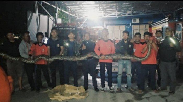 Sempat Bikin Panik Warga, Ular Piton di Tembilahan Akhirnya Diserahkan DPKP Inhil Ke BBKSDA Riau