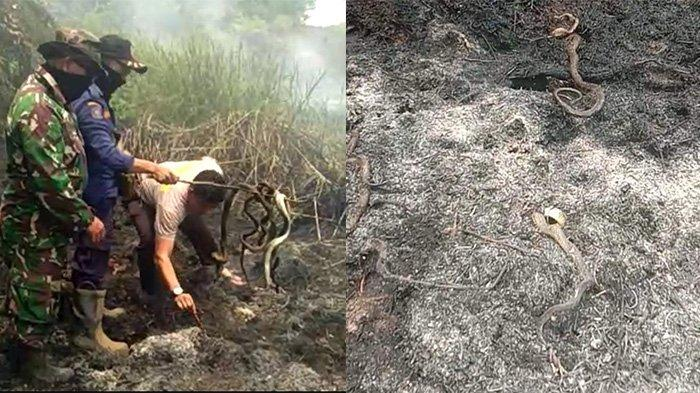 Semak Belukar Terbakar Ternyata Sarang Ular, Belasan Ular Terpanggang Saat Karhutla Pelalawan Riau