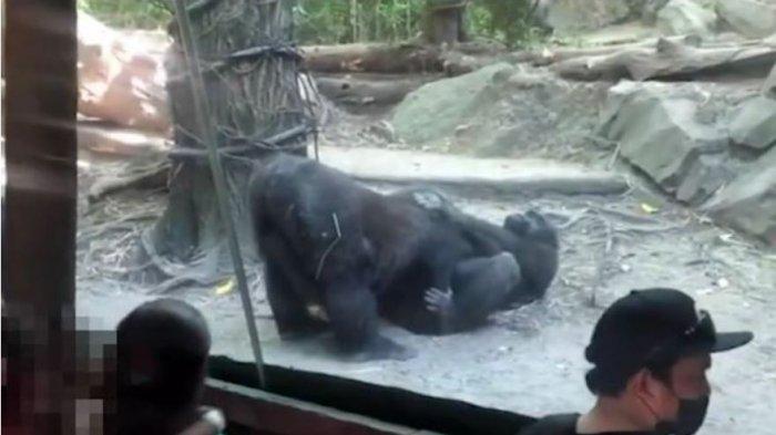 Sepasang Gorila Kawin Mengejutkan Pengunjung Kebun Binatang, Mereka Melakukannya Seperti Manusia