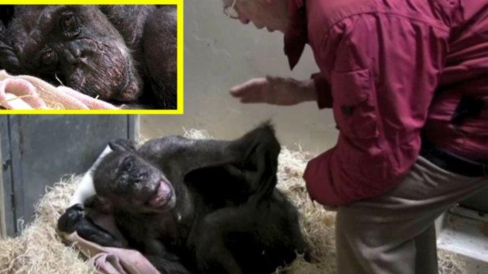 Bikin Terenyuh, Simpanse Sekarat Ini Berikan 'Perpisahan Indah' Kepada Sahabat Lamanya