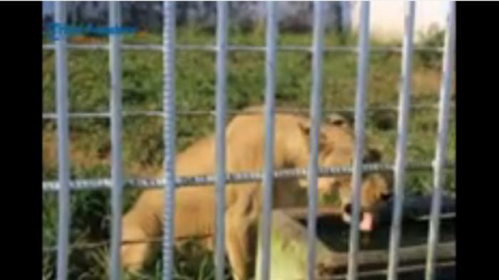 Wanita Muda Tewas Diterkam Singa di Kebun Binatang Tempatnya Magang