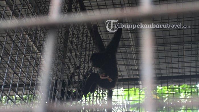 Sirin, induk uwo ungko menggendong bayi yang baru dilahirkannya di dalam Kandang Transit Satwa BBKSDA Riau.