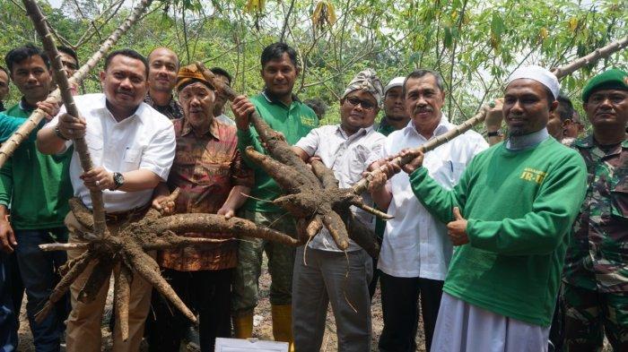 STORY - Tak Resah Harga Sawit Anjlok, Petani Ubi Desa Salo Riau Hasilkan Rp 30 Juta Sekali Panen