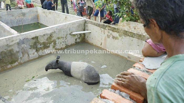 Tapir terjebak di dalam kolam ikan warga di Perumahan Cenderawasih, Jalan Garuda Sakti KM 3, Kelurahan Air Putih, Kecamatan Tuah Madani, Kota Pekanbaru, Riau.(www.tribunpekanbaru.com / Doddy Vladimir)