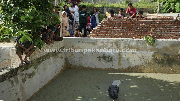 Tapir terjebak di dalam kolam ikan warga di Perumahan Cenderawasih, Jalan Garuda Sakti KM 3, Kelurahan Air Putih, Kecamatan Tuah Madani, Kota Pekanbaru, Riau. (www.tribunpekanbaru.com / Doddy Vladimir)