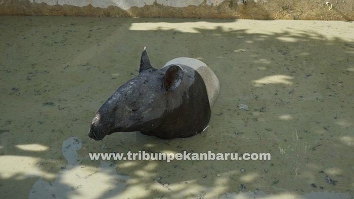 Foto : Tapir Terjebak di Kolam Milik Warga, Masih Sadar Usai Ditembak 2 Peluru Bius