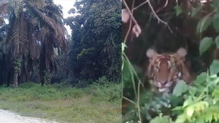 FOTO Kepala Harimau Sumatera Muncul di Sela Semak di Pelalawan Ternyata HOAX, Ini Pengakuan Penyebar