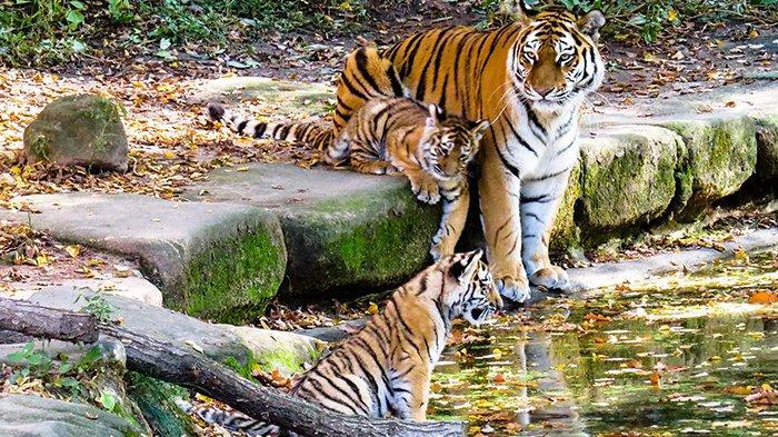 Warga Takut, 3 Ekor Harimau Diduga Induk dan Anaknya Berkeliaran di Ladang Warga Solok Selatan