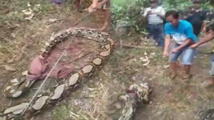 Warga Rohul Riau Tangkap Ular Piton Besar Panjang 6 Meter di Kebun Karet, BBKSDA 2,5 Jam Evakuasi