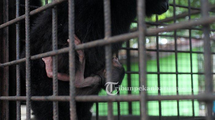Gemes Uwu Kayak Boneka,Bayi Owa Ungko Lahir di Kandang Transit Satwa BBKSDA Riau,Ini Penampakannya