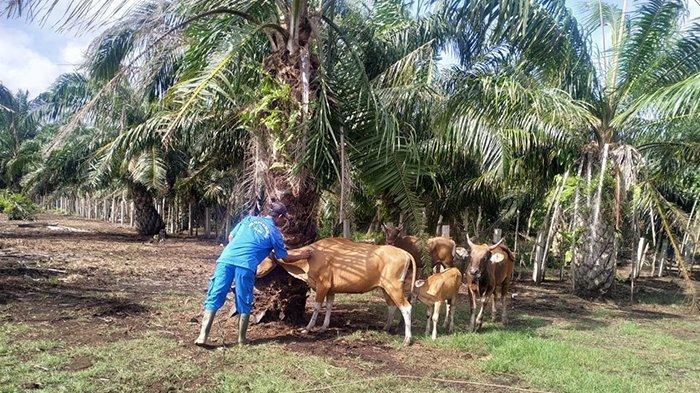 Dinas Pertanian Bengkalis Riau Targetkan Vaksinasi 4.000 Ribu Sapi di Tahun 2020