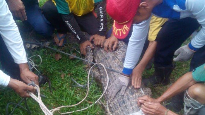 BREAKING NEWS: Buaya Sungai Siak di Riau Masuk ke Pemukiman Warga Merempan Hilir