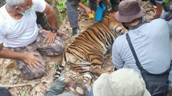 Sudah Miliki Insting Berburu, Satu Harimau Sinka Zoo yang Lepas, Ditembak Mati, Begini Kronologinya