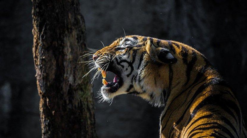 sarang-harimau-harimau.jpg