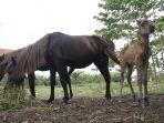 anak-kuda-jantan-lahir-di-kasang-kulim.jpg