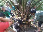 anak_beruang_yang_terjerat_tali_nilon_di_kebun_sawit_di_inhu_berhasil_diselamatkan_tim_rescue.jpg