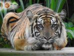 atan-bintang-harimau-sumatera.jpg