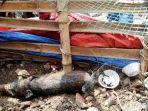 babi-yang-berhasil-ditangkap-warga-babi-ini-diduga-sebagai-babi-jadi-jadian-atau-babi-ngepet.jpg