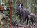 bbksda-evakuasi-anak-gajah-sumatera-jeratan-babi-hutan-mandau-siak_20180914_125037.jpg