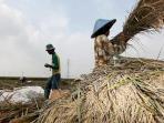 beras-padi-petani.jpg