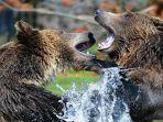 beruang-ilustrasi.jpg