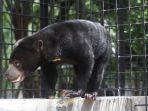 beruang-putus-kaki_20180126_150906.jpg